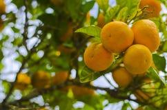 Naranjas que cuelgan de un árbol Fotografía de archivo libre de regalías