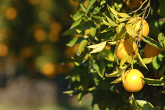 Naranjas que cuelgan en un árbol Imagen de archivo