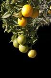 Naranjas que cuelgan en un árbol con el fondo negro Fotografía de archivo