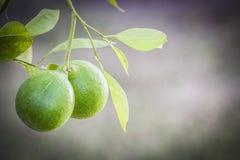 Naranjas verdes en árbol Imagen de archivo