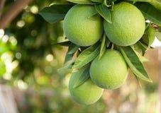 Naranjas verdes que cuelgan de un árbol Foto de archivo