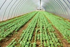 narastająca greenery sałata Obrazy Stock