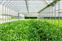 narastająca greenery sałata Fotografia Stock