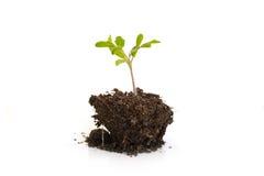 Narastająca młoda roślina odizolowywająca na białym tle, pojęciu, nowym życia, ogrodnictwa, środowiska i ekologii, Fotografia Stock