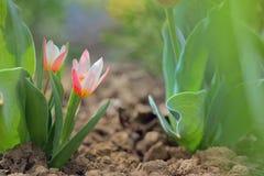 Narastająca mała tulipanowa roślina Fotografia Royalty Free