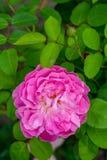 Narastająca menchii róża Obrazy Royalty Free