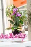 Narastająca różowa orchidea z płatka arrangment na bielu stole Obrazy Royalty Free