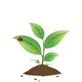 narastająca roślina Obraz Stock