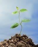 narastająca roślina Zdjęcie Stock