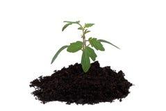 narastająca roślina Obrazy Stock