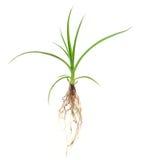 narastająca roślina Obrazy Royalty Free