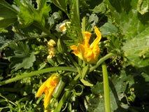 Narastająca roślina Zucchini Obrazy Royalty Free