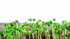 Narastająca trawa zbiory