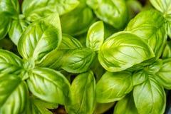 Narastające świeże basil rośliny, odgórny widok pojęcia ogrodnictwo obraz royalty free