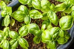 Narastające świeże basil rośliny, odgórny widok pojęcia ogrodnictwo zdjęcia royalty free