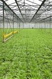 Narastające andive rośliny w glasshouse obraz stock