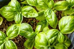 Narastające basil rośliny, odgórny widok Uprawiający ogródek, świeże zielenie obraz stock