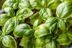 Narastające basil rośliny, odgórny widok Uprawiający ogródek, świeże zielenie zdjęcie royalty free
