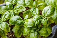 Narastające basil rośliny, odgórny widok Uprawiający ogródek, świeże zielenie zdjęcie stock