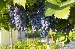 Narastający życiorys winogrona Obrazy Royalty Free