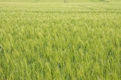 Narastający żyta pole Zdjęcie Royalty Free
