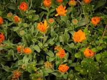 Narastający pomarańcze ogród kwitnie w wiośnie zdjęcia stock