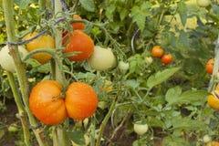 Narastający pomidory na domowym ogródzie Mokrzy pomidory w ranku słońcu Nocny deszcz Dojrzeń warzywa w domu ogródzie Zdjęcie Royalty Free