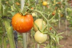 Narastający pomidory na domowym ogródzie Mokrzy pomidory w ranku słońcu Nocny deszcz Dojrzeń warzywa w domu ogródzie Zdjęcia Stock