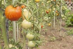 Narastający pomidory na domowym ogródzie Mokrzy pomidory w ranku słońcu Nocny deszcz Dojrzeń warzywa w domu ogródzie Obraz Stock