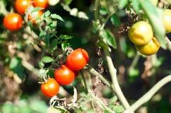 Narastający pomidory w ogródzie, zamykają up Zdjęcie Royalty Free