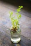 Narastający rośliny kiełkowanie wśrodku słoju zdjęcia royalty free