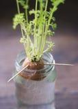Narastający rośliny kiełkowanie wśrodku słoju obrazy royalty free