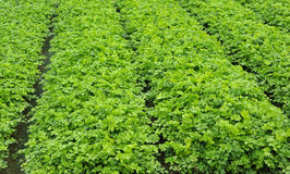 narastający warzywa Obraz Stock