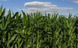 Narastająca lato kukurudza Obrazy Stock