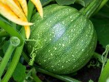 Narastające banie w organicznie jarzynowym ogródzie Obraz Royalty Free