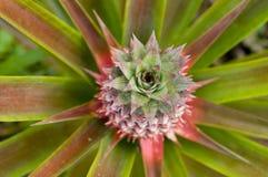 narastający ananas Obraz Royalty Free