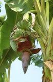 Narastający banany Zdjęcie Royalty Free