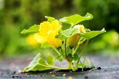 Narastający dyniowy kwiat Zdjęcia Stock