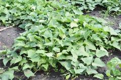 Narastający organicznie bataty i ignamy w ogródzie Organicznie r bataty Obrazy Royalty Free