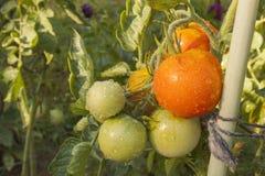 Narastający pomidory na domowym ogródzie Zdjęcie Stock