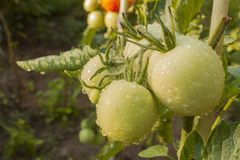 Narastający pomidory na domowym ogródzie Fotografia Royalty Free