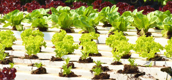 Narastający warzywa w ogródzie Fotografia Royalty Free