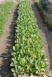 narastający warzywo Zdjęcia Stock