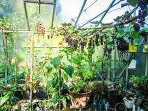 Narastający winogrona i pomidory w intymnej szklarni Obraz Royalty Free