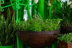 Narastający ziele w metalu garnku zdjęcie stock
