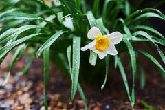 Narcis花 免版税图库摄影
