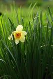 Narcis Photos libres de droits