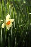 Narcis Images libres de droits