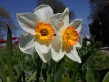 Narcis stock fotografie