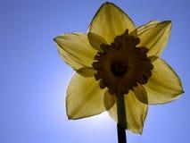 Narcis abask - detail Stock Afbeeldingen